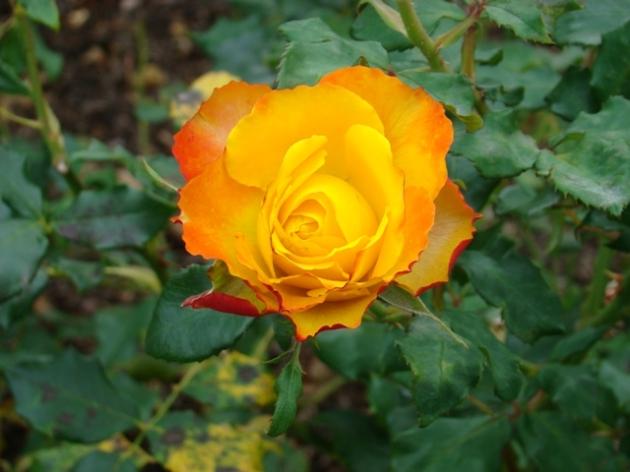 Greenwich Royal Park Rose Garden