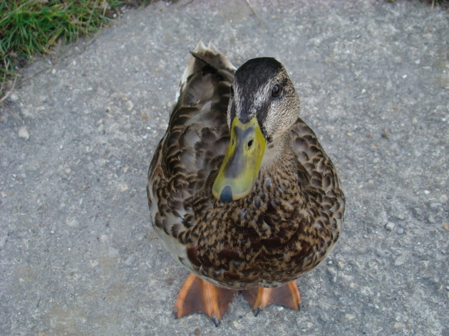 Quack Security Patrol - Cromford Canal Walk