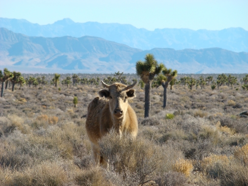 Open Range Cattle near Area 51