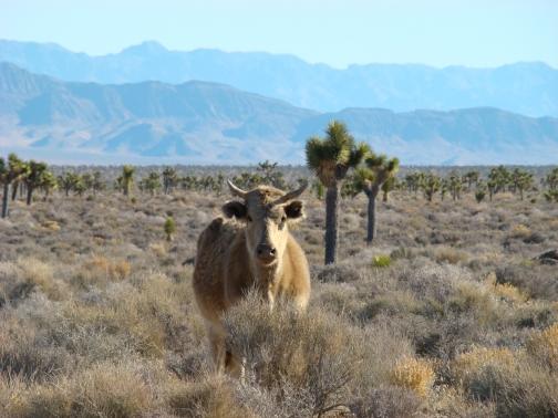 Open Range Cattle near Area 51